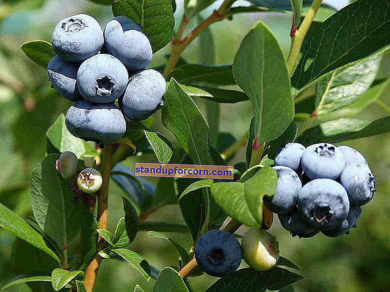 Amerikansk blåbär - egenskaper, odling och vård