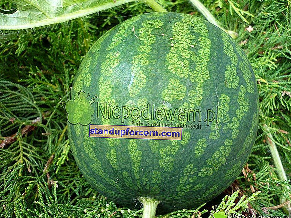 Vattenmelon, vattenmelon - odling i Polen och sorter