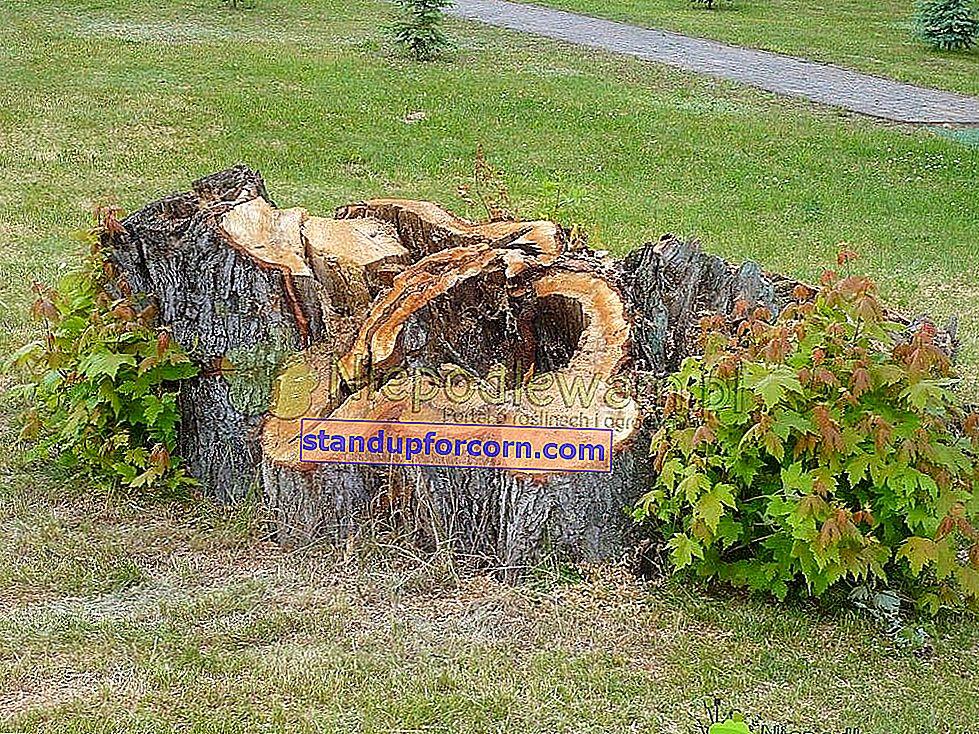 Hvordan slipper man af stubben efter det fældede træ?