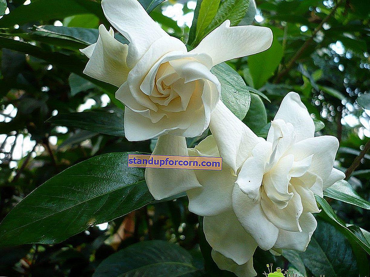 Gardenia jasmin - odling, vård, reproduktion