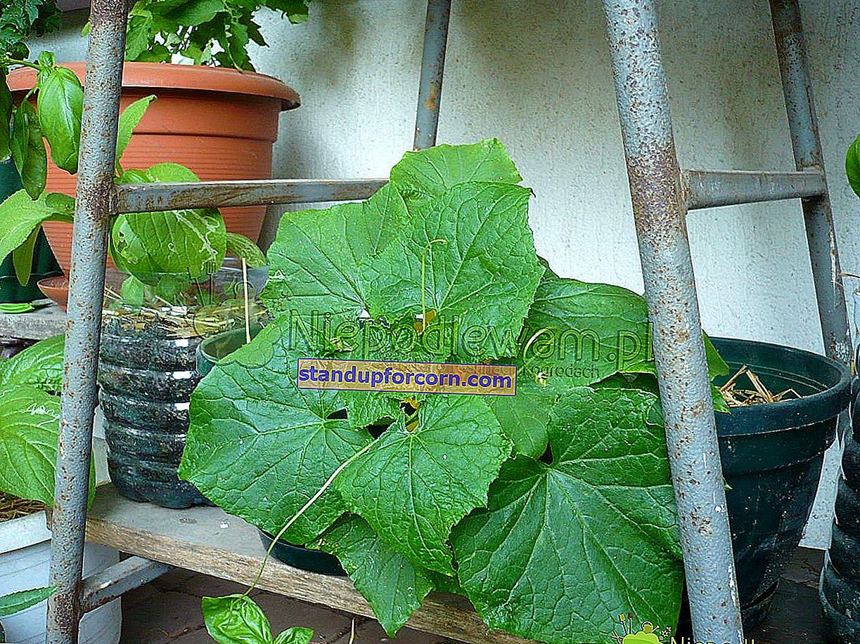 Gurkor - odling på tomten, de bästa sorterna