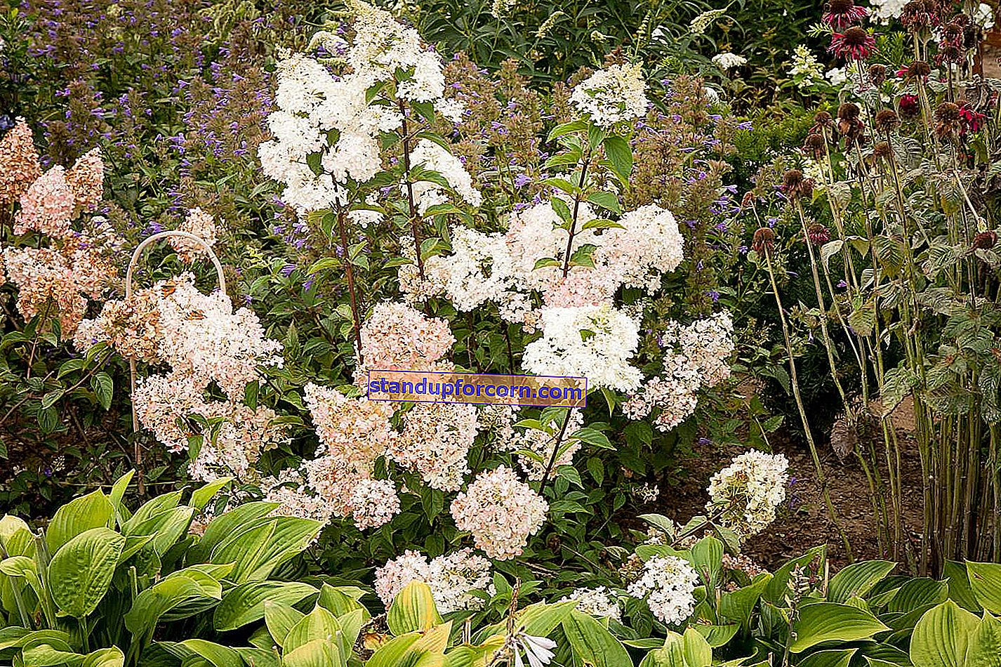 Buket hortensia - sorter, dyrkning, opskæring
