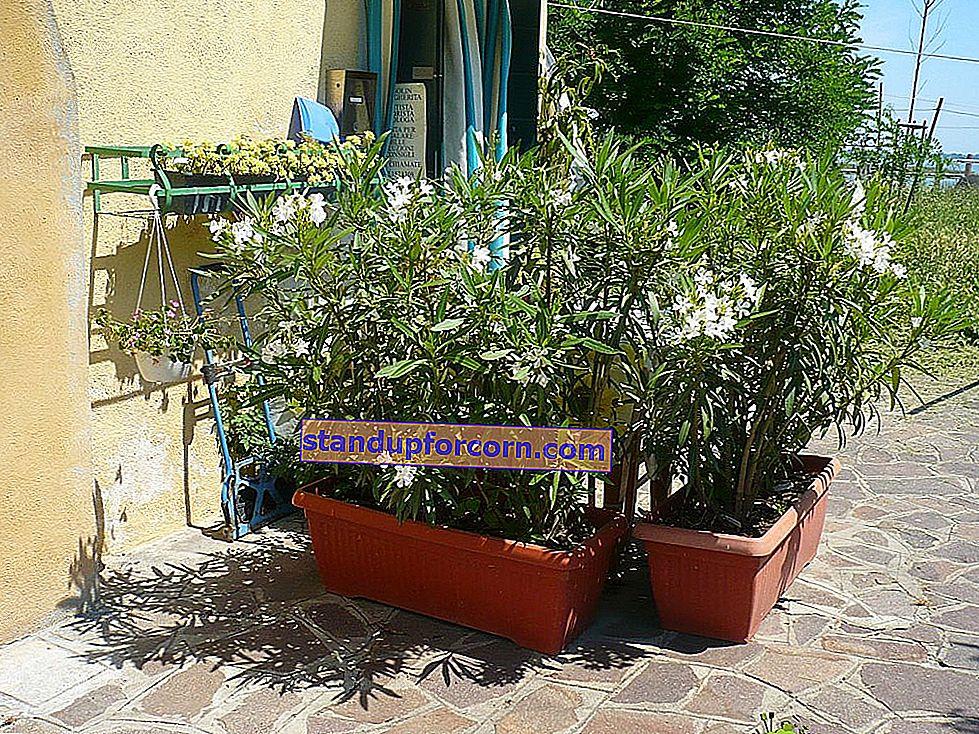 Oleander cut. Hur och när ska man klippa oleander?