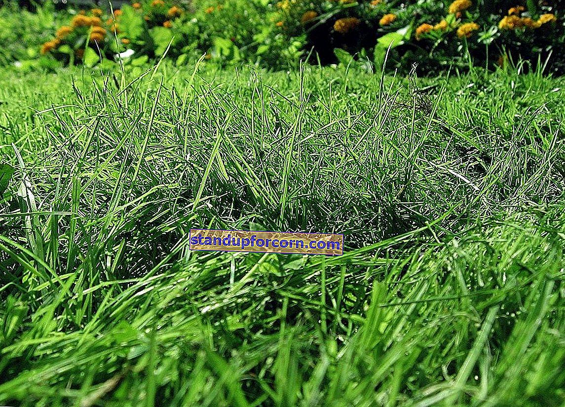 Çimlerde yabani otlarla nasıl mücadele edilir?