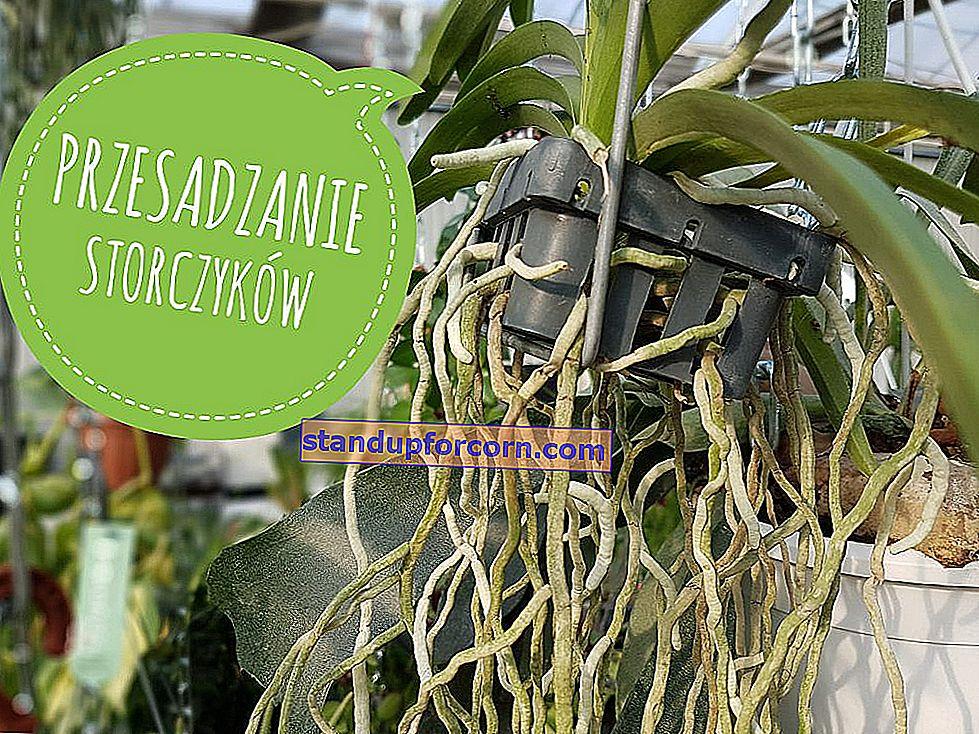 Transplantera orkidéer. Hur och när man ska transplantera orkidéer?