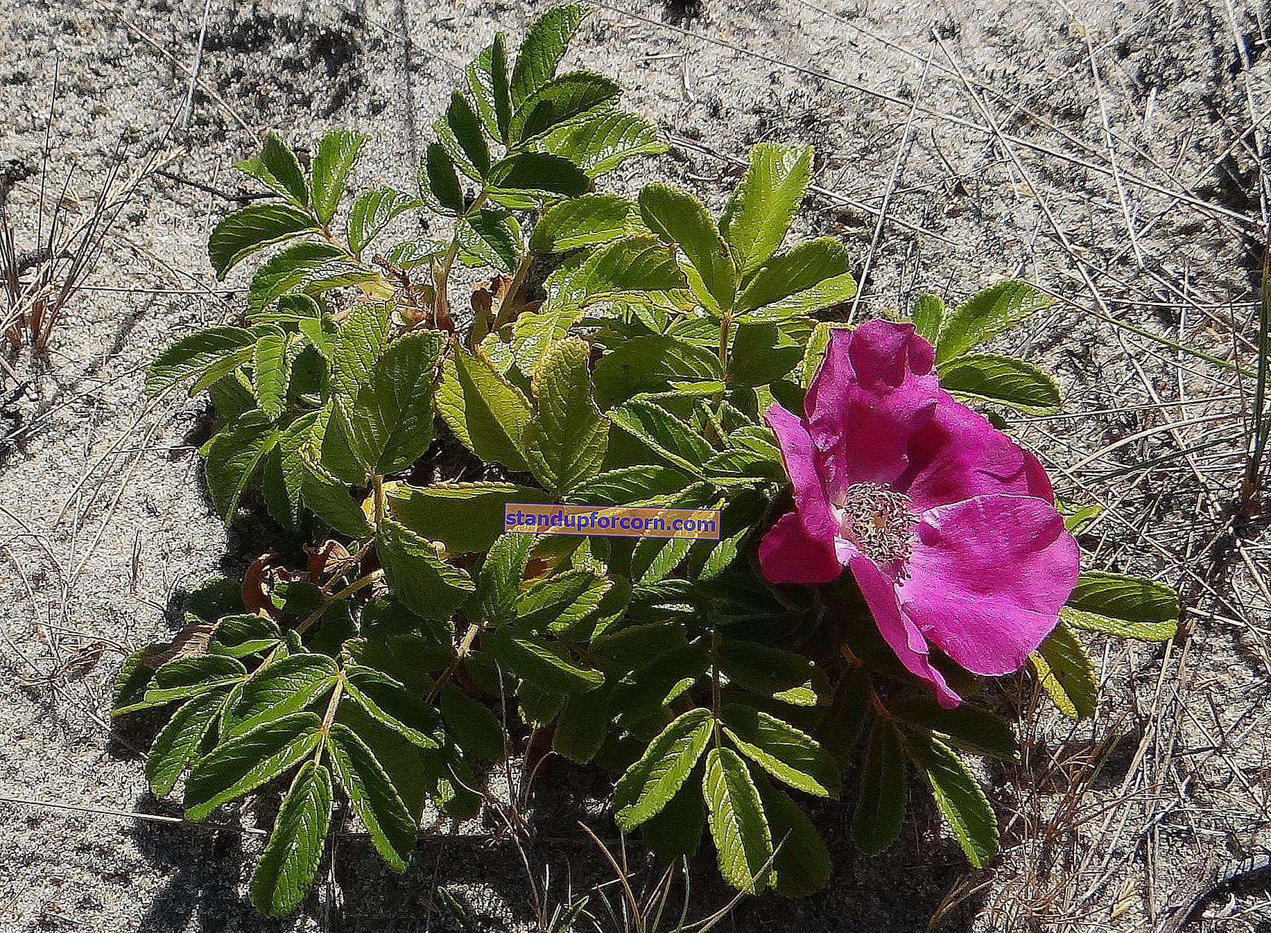 Buruşuk gül, Rosa rugosa - yetiştirme, çeşitleri, üreme