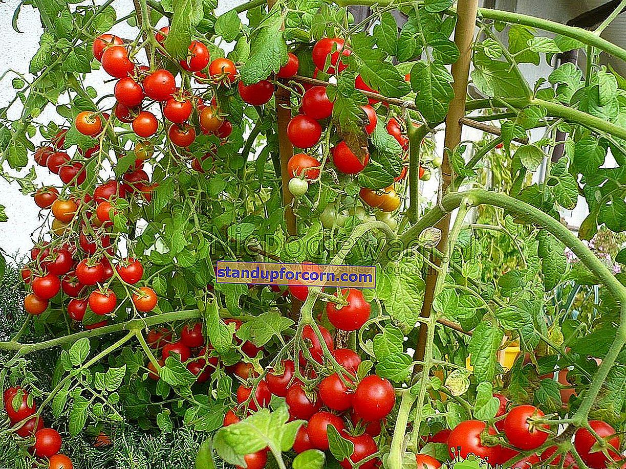 Tomater - voksende, plantning, sorter