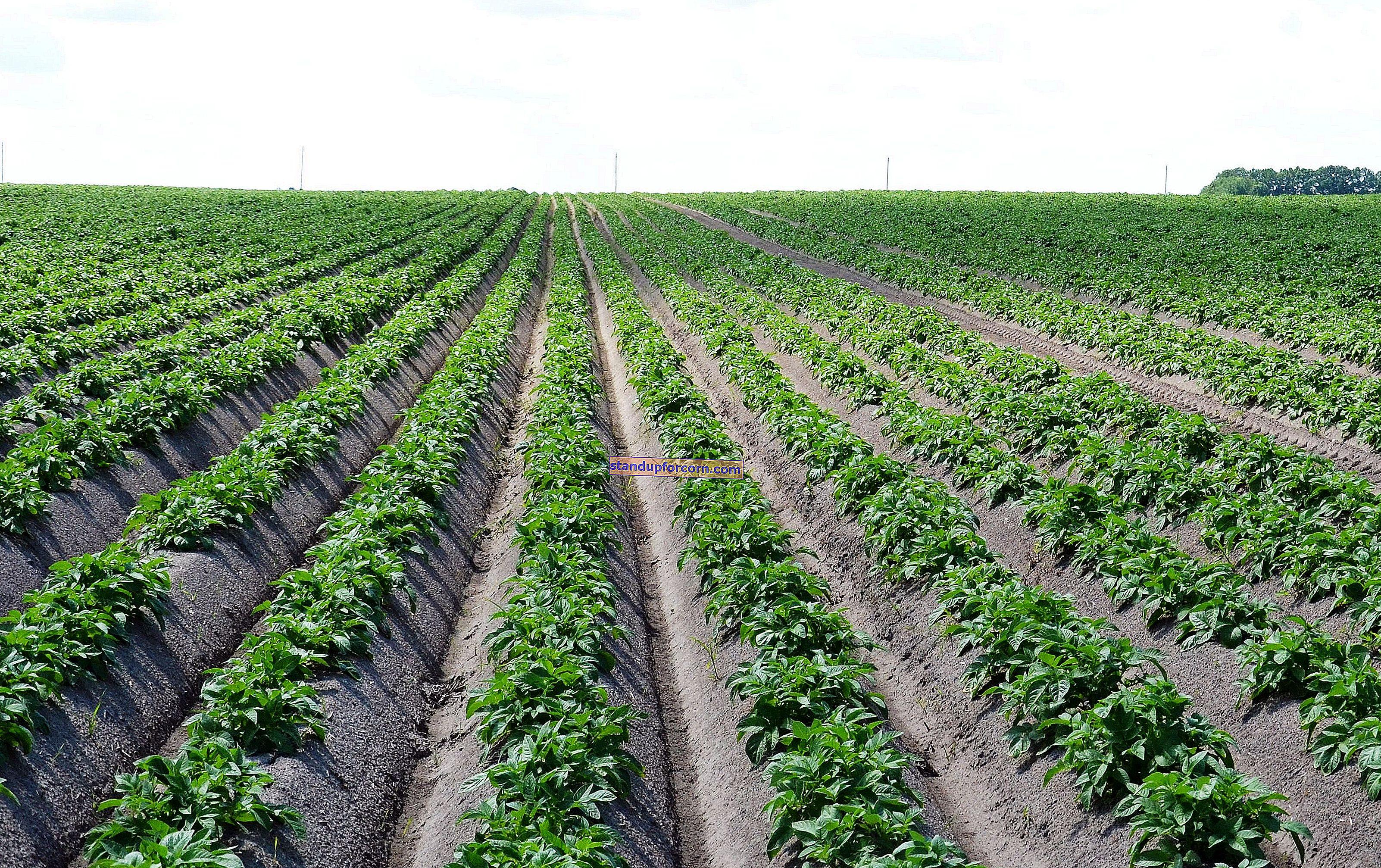 Patates - arsa üzerinde büyüyen, çeşitleri, ekim