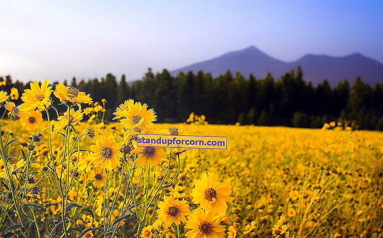Kvetinová lúka pre včely. Ako zariadiť kvetinovú lúku v záhrade?