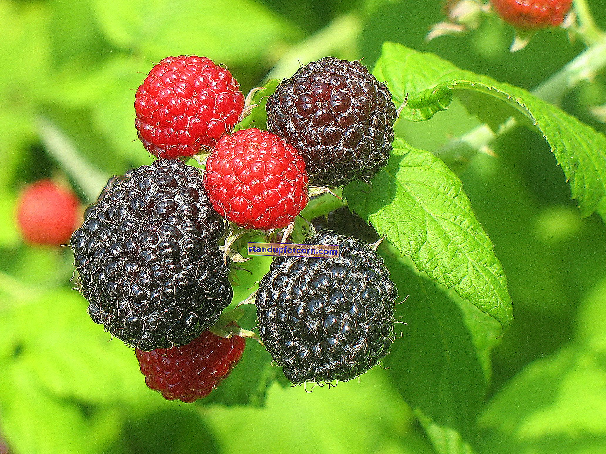 Musta vadelma - ominaisuudet, viljely, lajikkeet