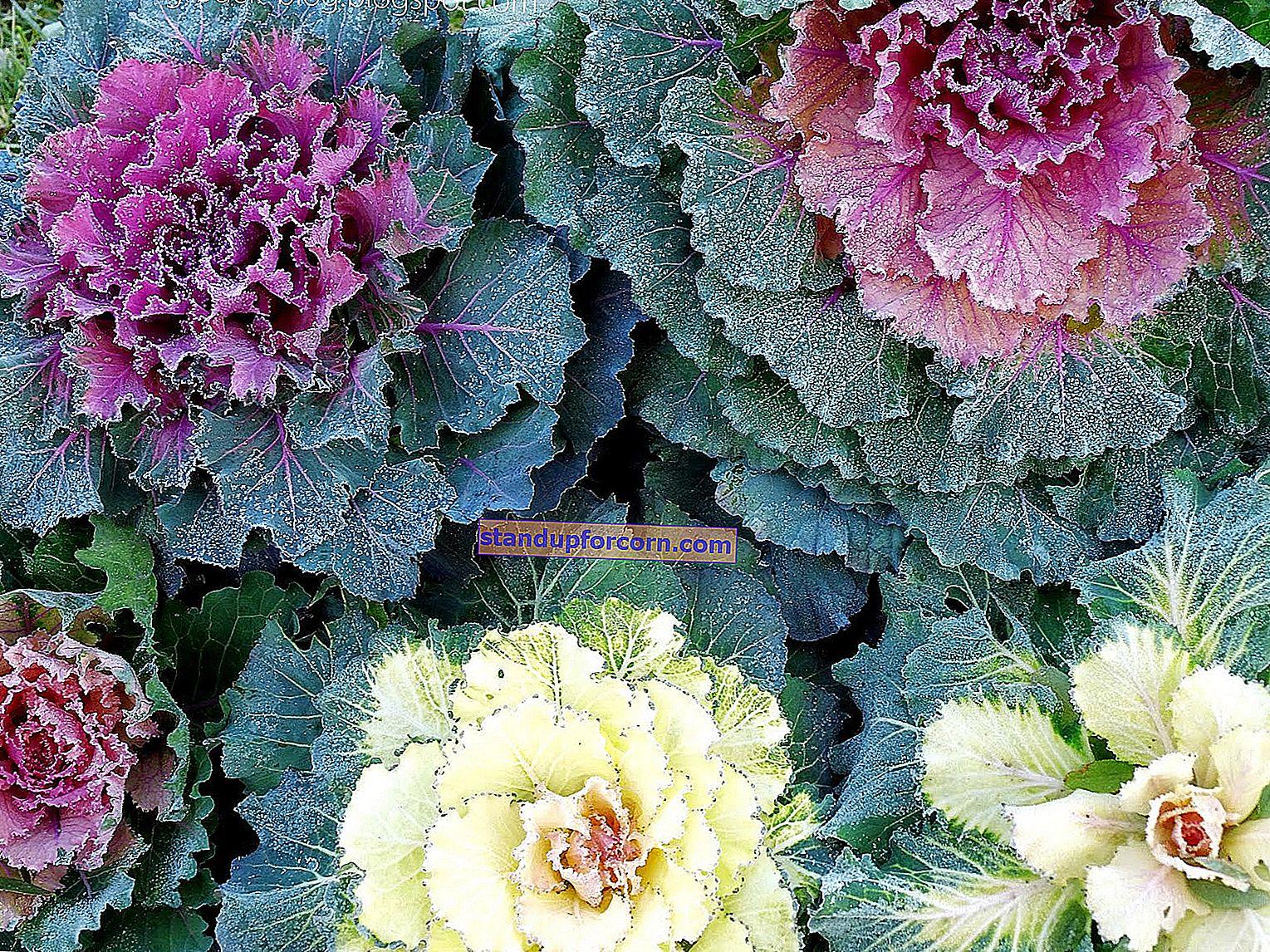 Dekoratívna kapusta. Pestovanie v záhrade a v kvetináči