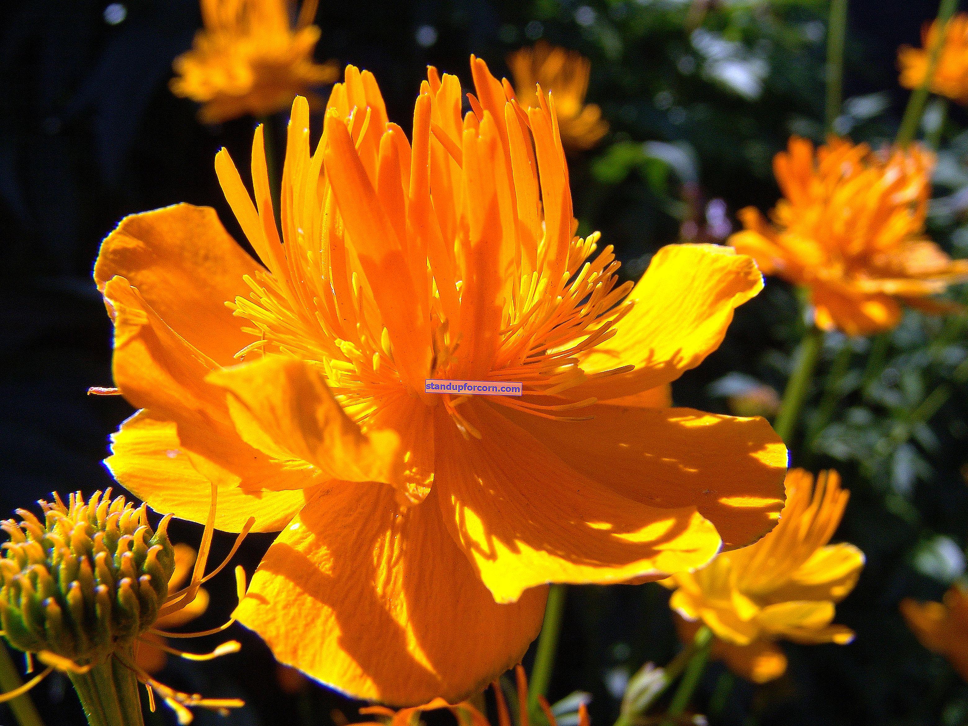 Uzun çiçekli çok yıllık bahçe çiçekleri