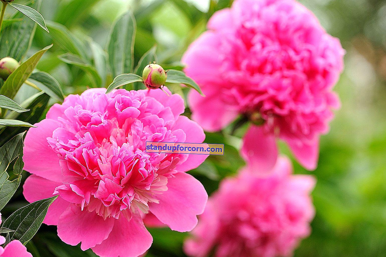 Pæoner - voksende, plantning, reproduktion, havevarianter