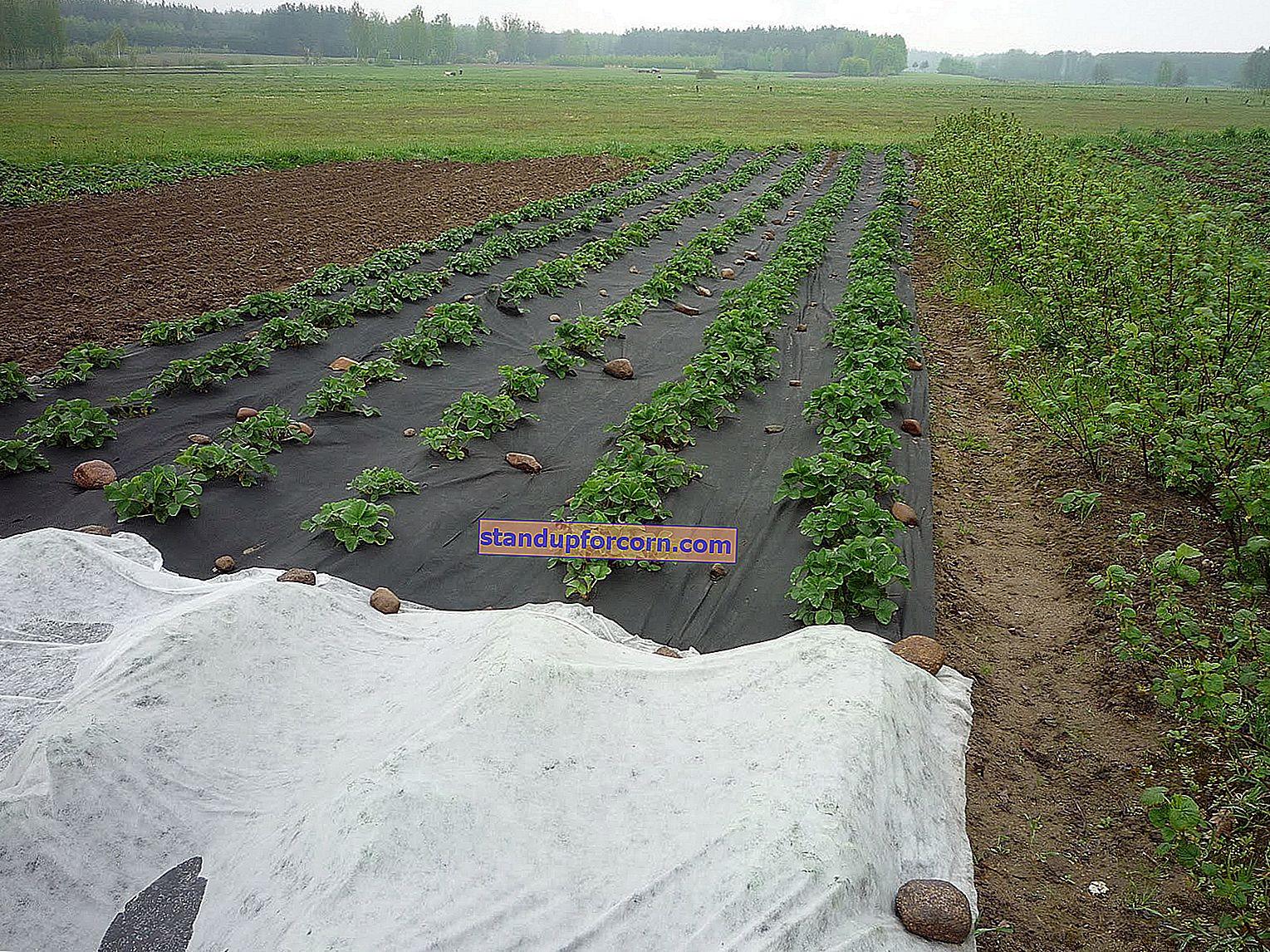 Sådan plantes jordbær på agrotextile
