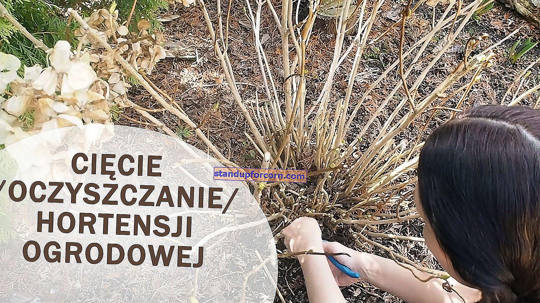 Výsadba hortenzií. Ako a kedy sadiť hortenzie?