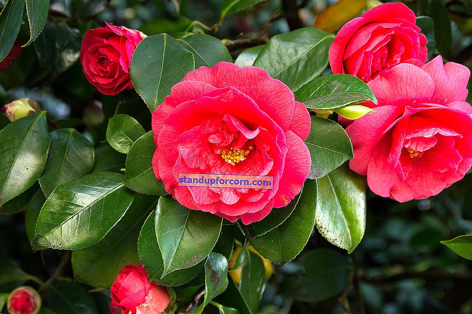 Blomsten av Ismena, membran. Dyrking, overvintring, reproduksjon