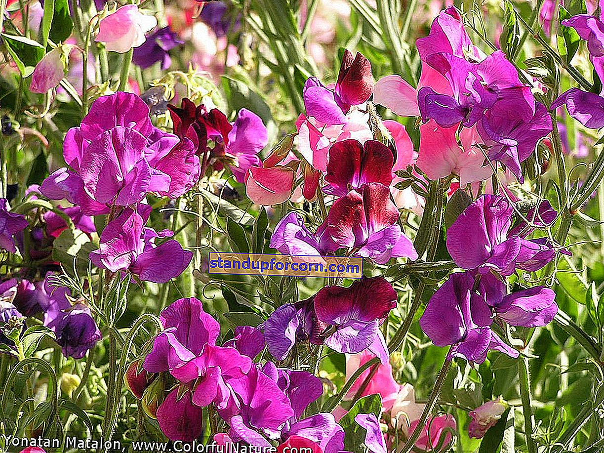 Duftende erter - varianter og dyrking