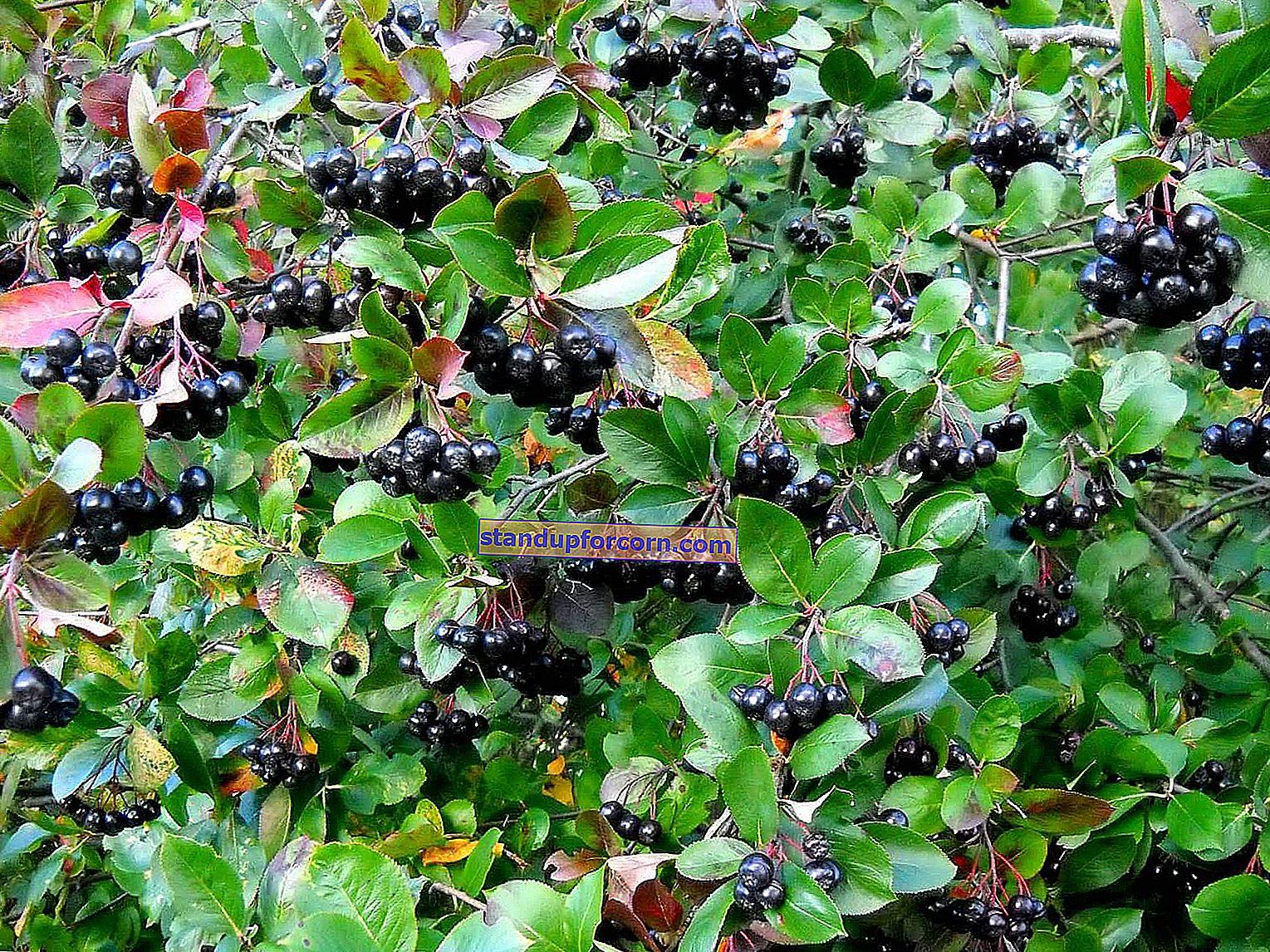 Siyah chokeberry - yetiştirme, dikim, hasat