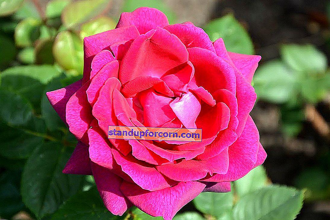 Büyük çiçekli güller - çeşitleri, yetiştirme, bakım