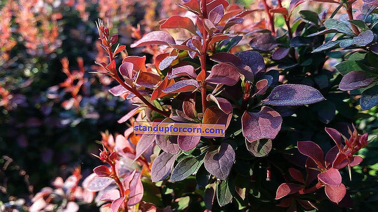Dekoratif ayçiçeği - bahçede yetiştirme, çeşitleri