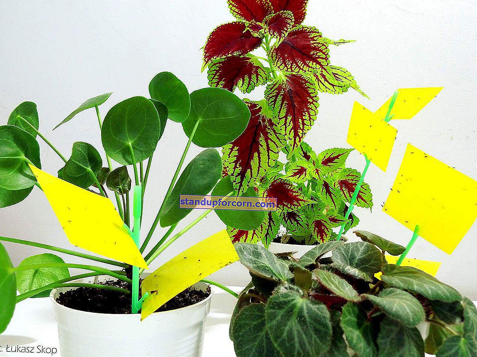 Kartofler i potter med blomster. Hvordan kæmper man økologisk?