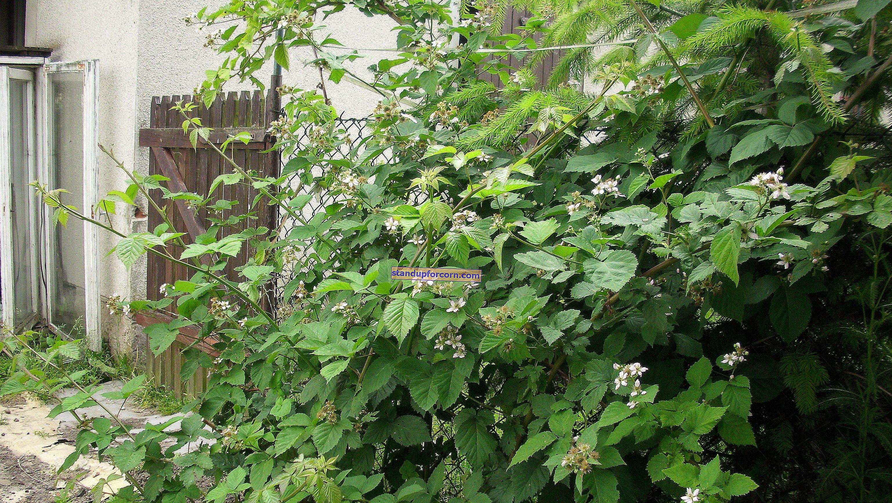 Tornfri björnbär - sorter, odling, beskärning