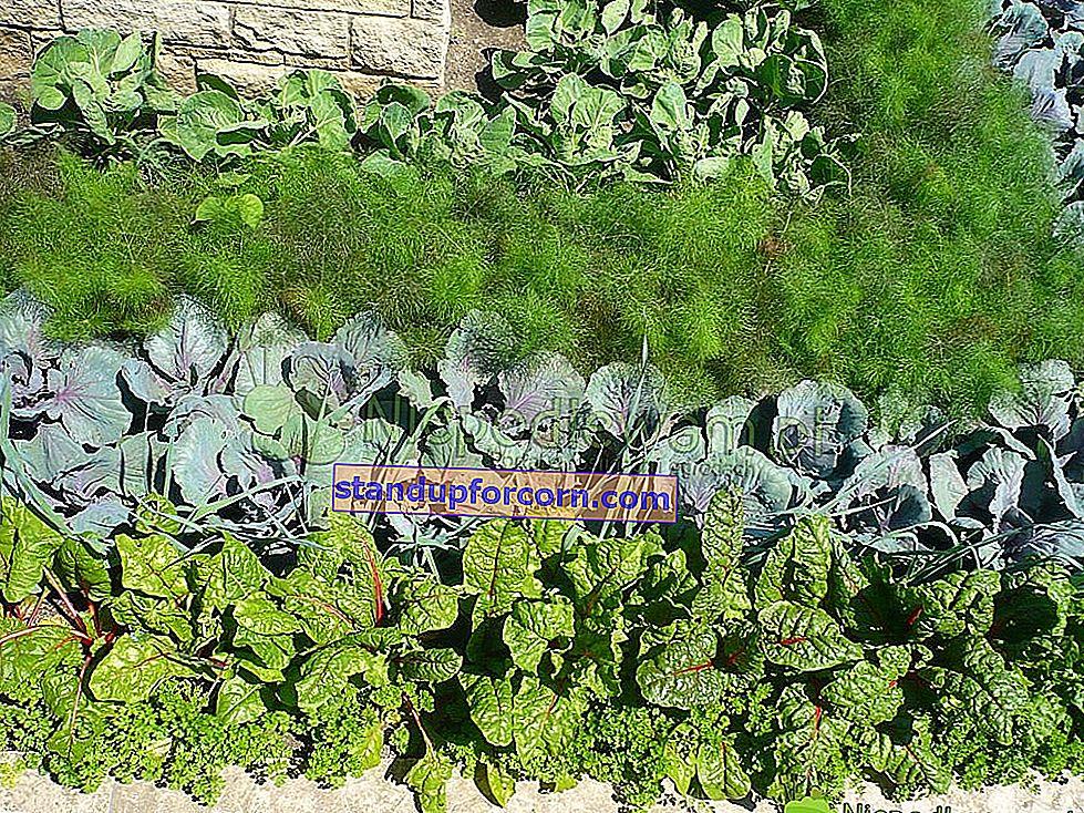 Hvilke grøntsager skal plantes side om side - bord