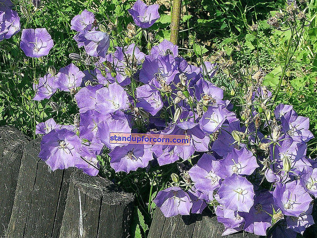 Karpatisk klockblomma - odling från frön, reproduktion, sorter