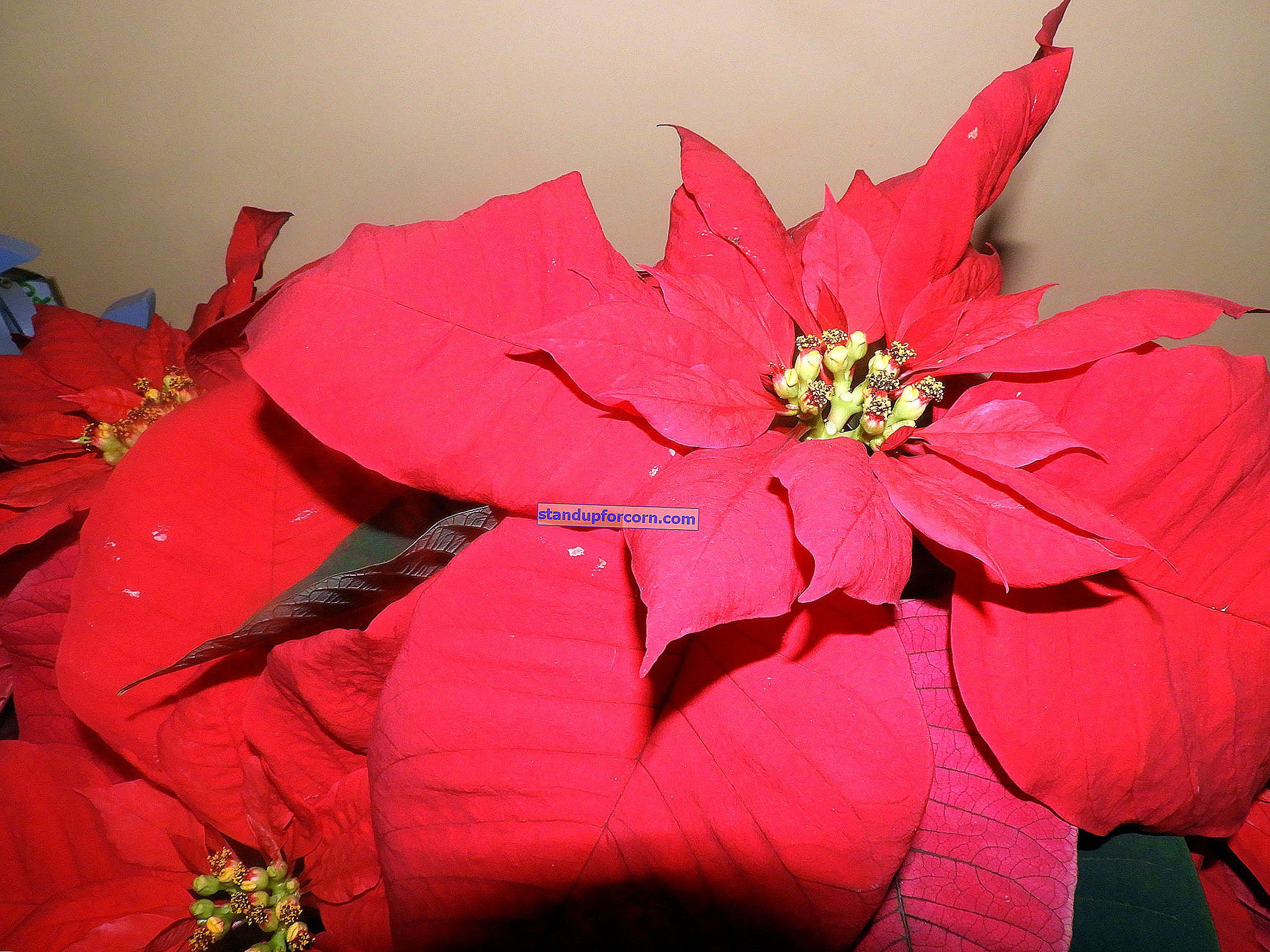 Stjärnan i Betlehem, julstjärna - odling, vård, övervintring