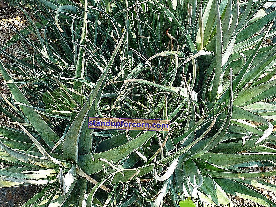 Aloe - evde yetiştirme, çeşitler, üreme