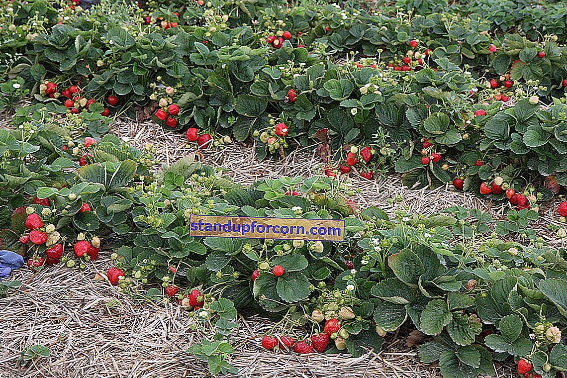 Pestovanie jahôd na pozemku