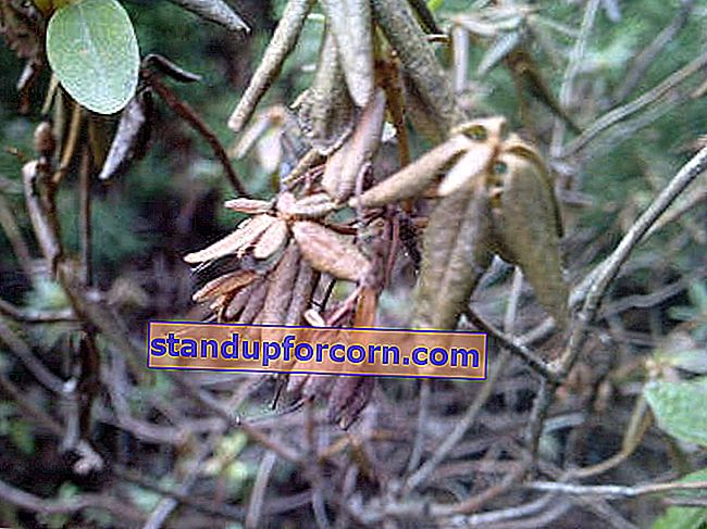 rhododendron phytophthorosis
