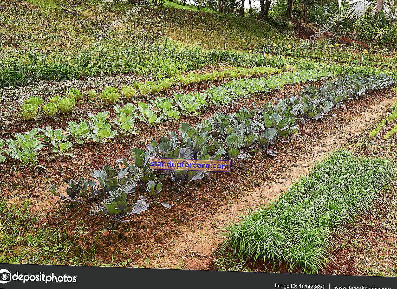 Yeni başlayanlar için bir sebze bahçesi