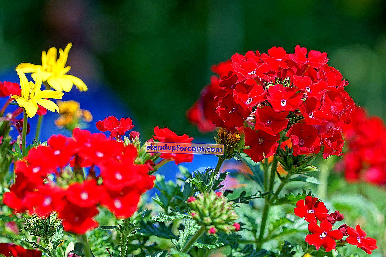 Kŕčové žily - odrody, pestovanie, rezanie, rozmnožovanie