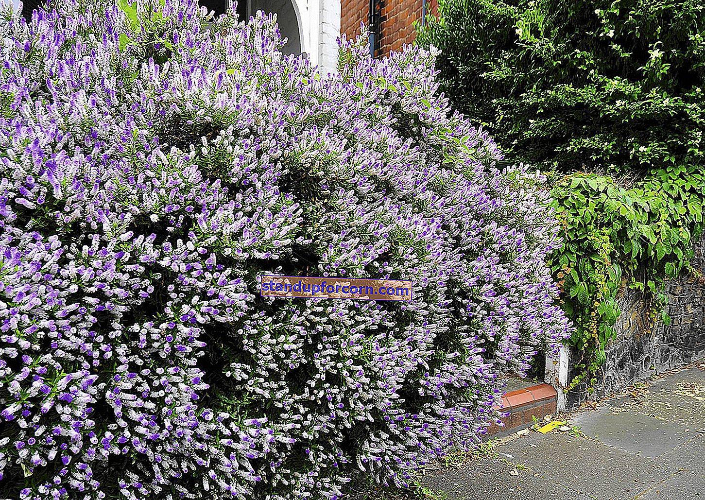 Hebe - záhradná rastlina - pestovanie a starostlivosť