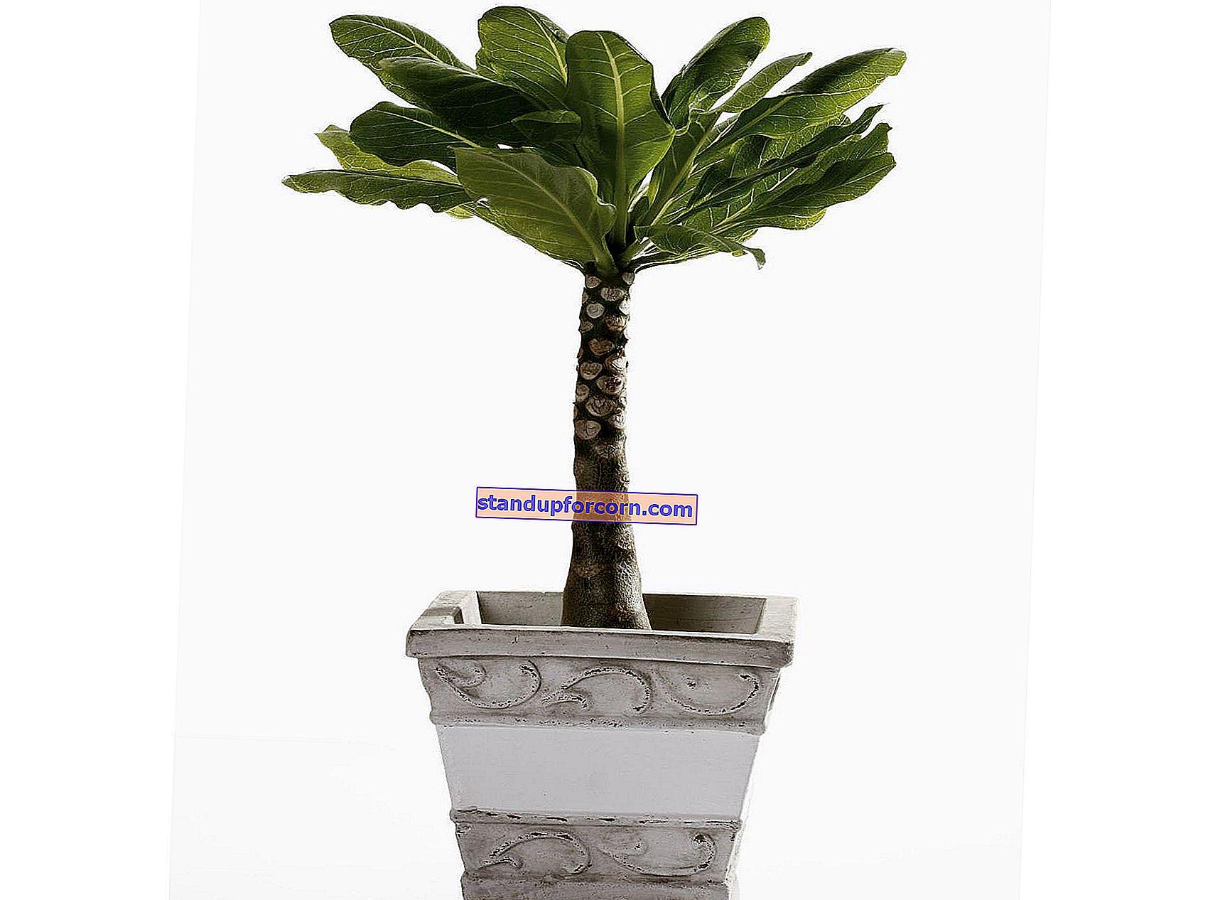 Datľová palma, datľová palma - starostlivosť a pestovanie doma, choroby