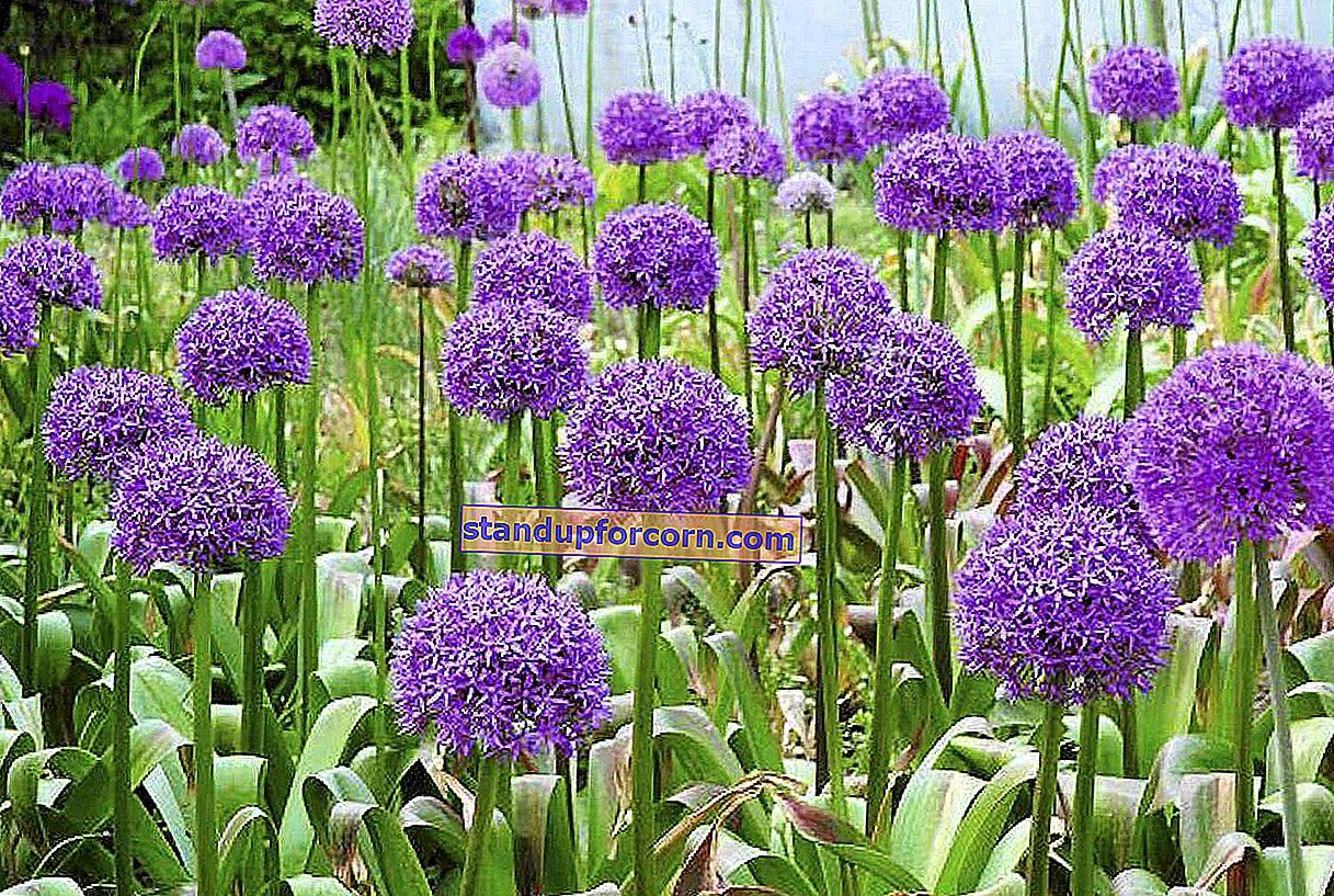 Have petunia - sorter, dyrkning, reproduktion, sygdomme