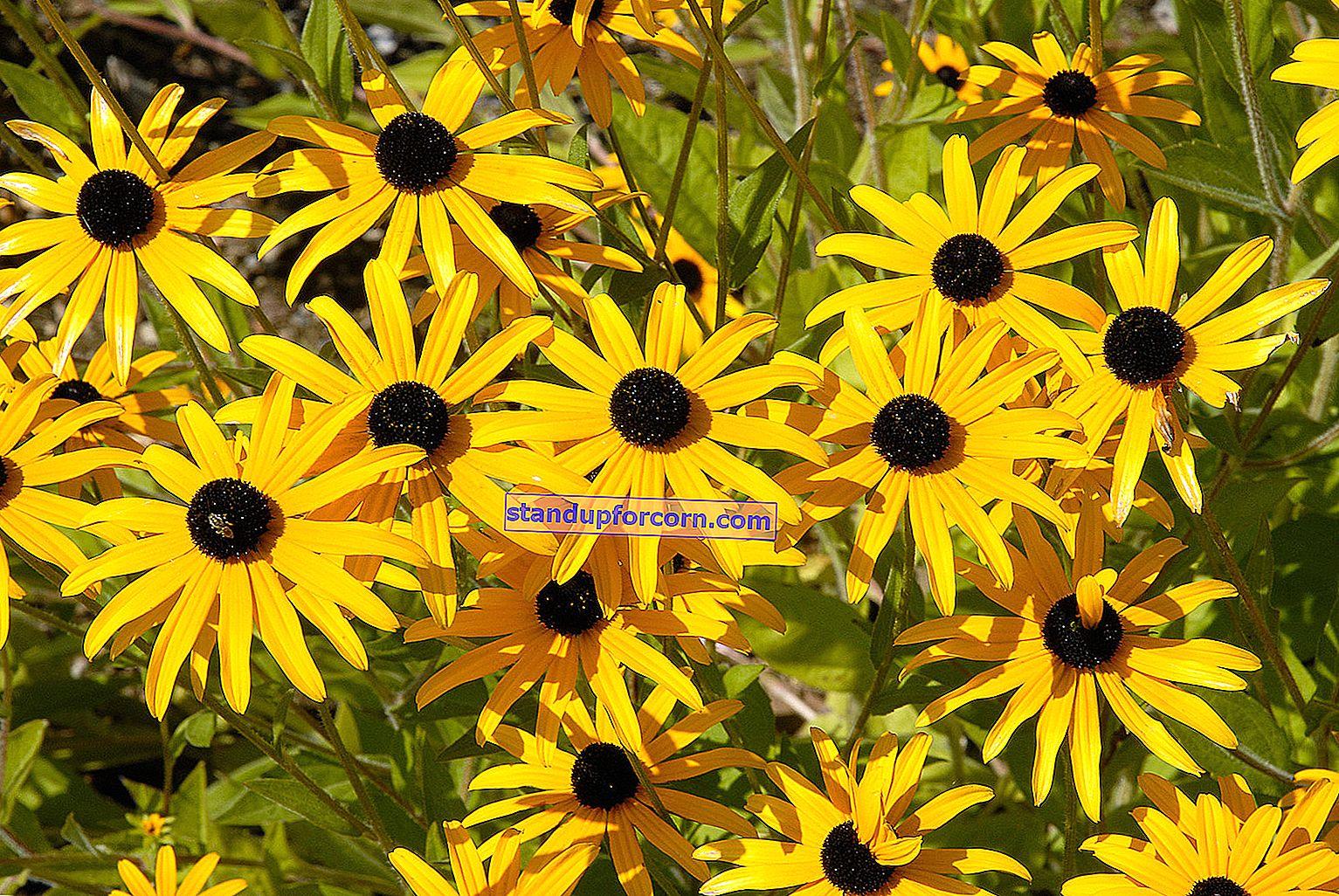 Rudbeckia - lajikkeet ja viljely